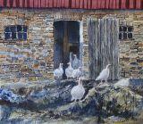 Vita kalkoner ser solljuset / White turkeys see the sunlight