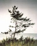 Ett träd vid havet | A tree by the sea